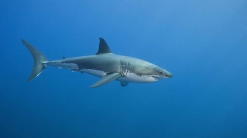 Weißer Hai 4