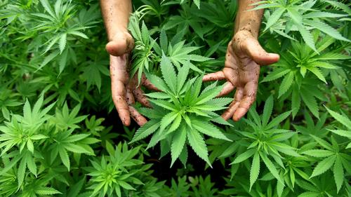 Cannabisplantage nach Überfall entdeckt