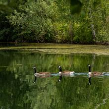 Enten auf dem Baggersee in Remerchen (Foto: Albert Klee)